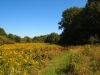 Old-Trolley-Line-Big-field-in-bloom